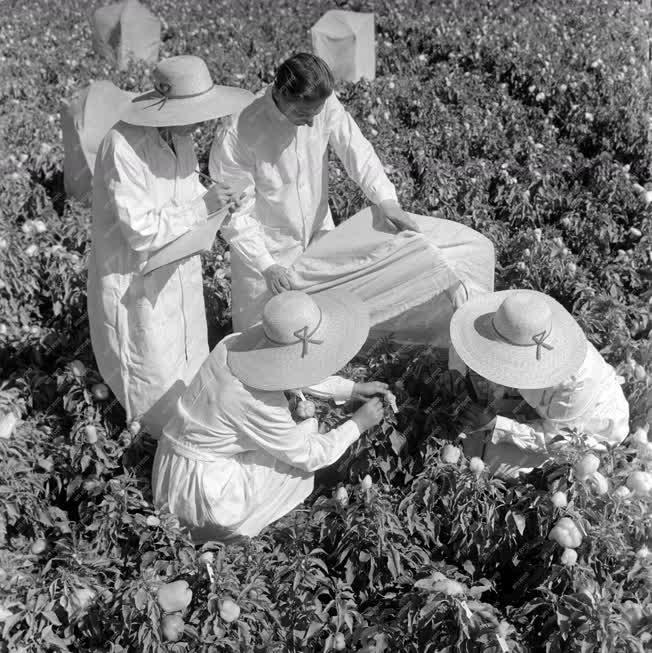 Mezőgazdaság - Szentesi Kutató Intézet - Aranyérmes a szentesi paprika
