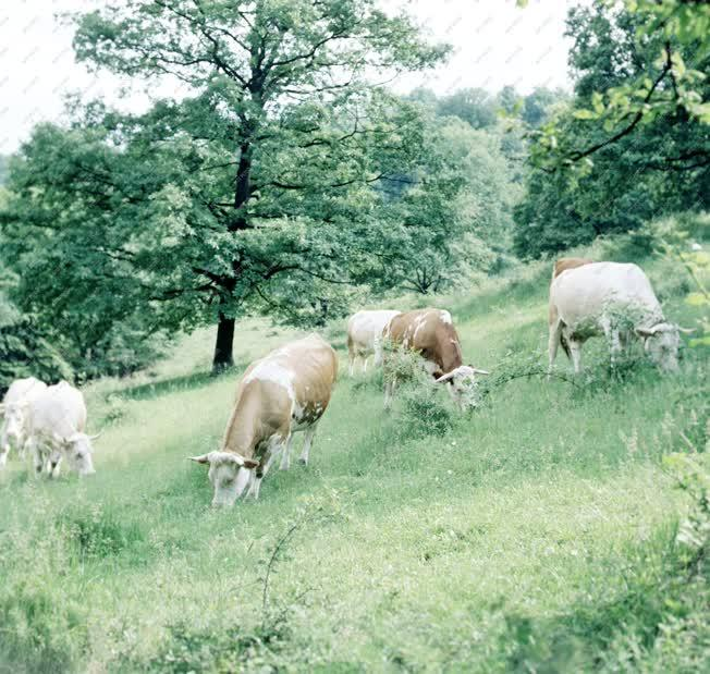 Mezőgazdaság - Legelésző szarvasmarha csorda Hollókőn