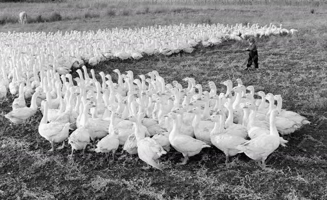 Mezőgazdaság - A tiszaújfalui Alkotmány Tsz viziszárnyas telepe