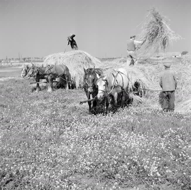 Mezőgazdaság - Boglyáznak a tsz-ben