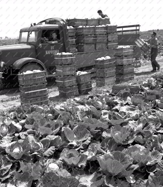 Mezőgazdaság - Káposzta termesztés