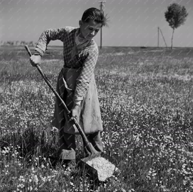 Mezőgazdaság - Kamillagyüjtő