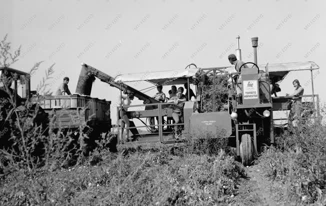 Mezőgazdaság - Amerikai paradicsomszedő gép