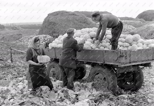 Mezőgazdaság - Savanyítják a vecsési káposztát