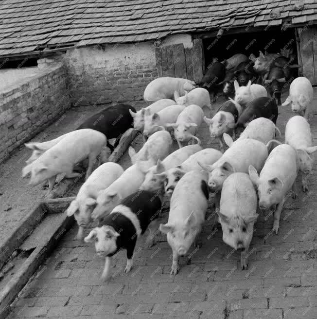 Állattenyésztés - A XVII. kerületi Micsurin Tsz