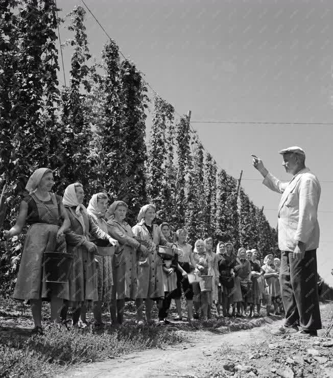 Mezőgazdaság - Komlótermesztés a Bólyi Állami Gazdaságban