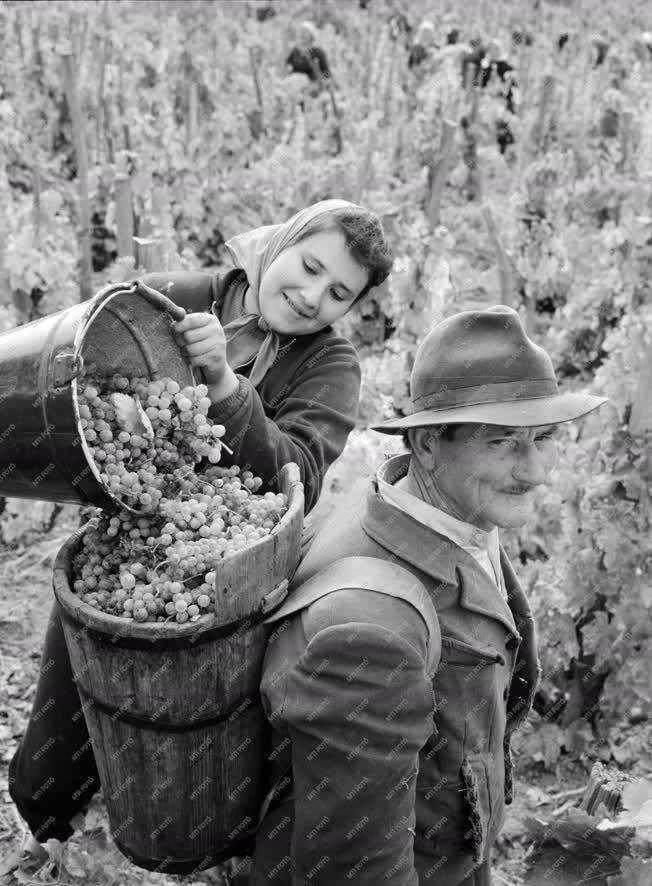 Mezőgazdasági munka - Borászat - Szüret Egerben