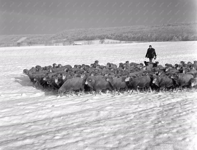 Mezőgazdaság - Természet - Állattenyésztés télen