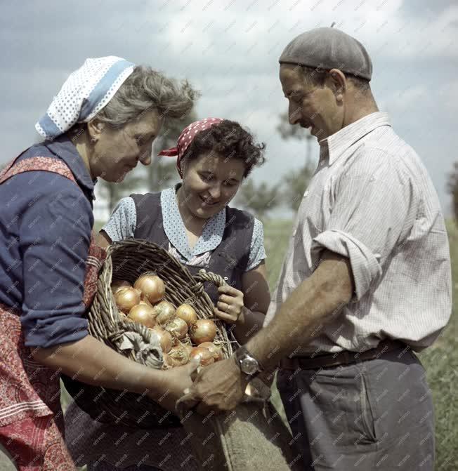 Mezőgazdaság - Hagymaszedés a makói Lenin Termelőszövetkezetben