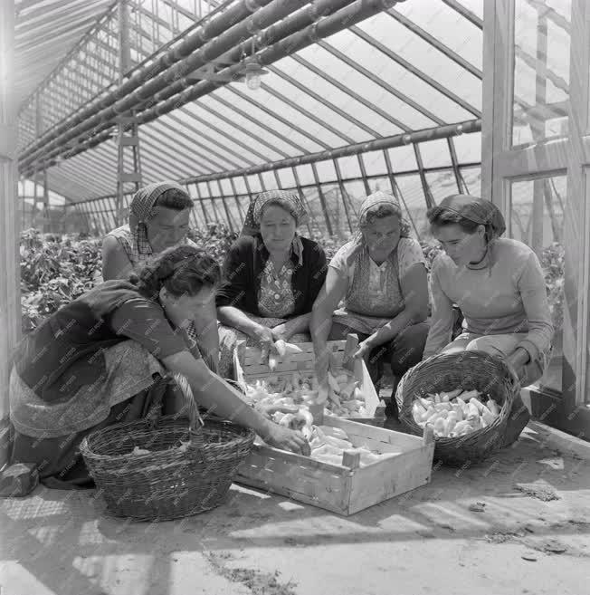 Mezőgazdaság - Szüret a szegedi Felszabadulás Tsz üvegházában