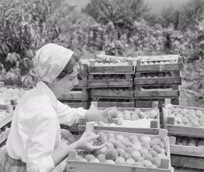 Mezőgazdaság - Az NDK-ba exportálják az őszibarackot