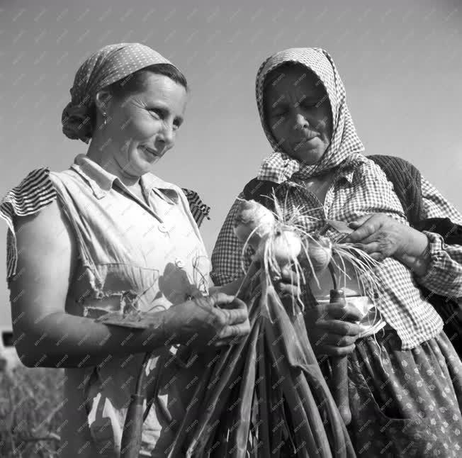 Mezőgazdaság - Hagymaszedés Makón