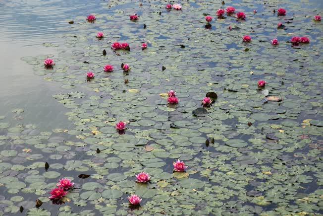 Természet - Egerszalók - Tavirózsa