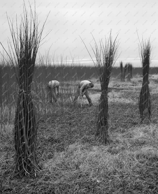 Mezőgazdaság - Erdőgazdálkodás - Fűzvessző kitermelése