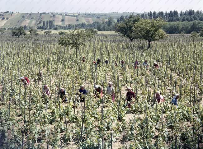Mezőgazdaság - A Móri Állami Gazdaság