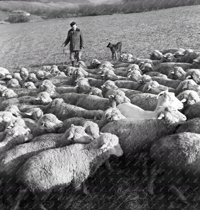 Mezőgazdaság - Az ivádi Dózsa Tsz