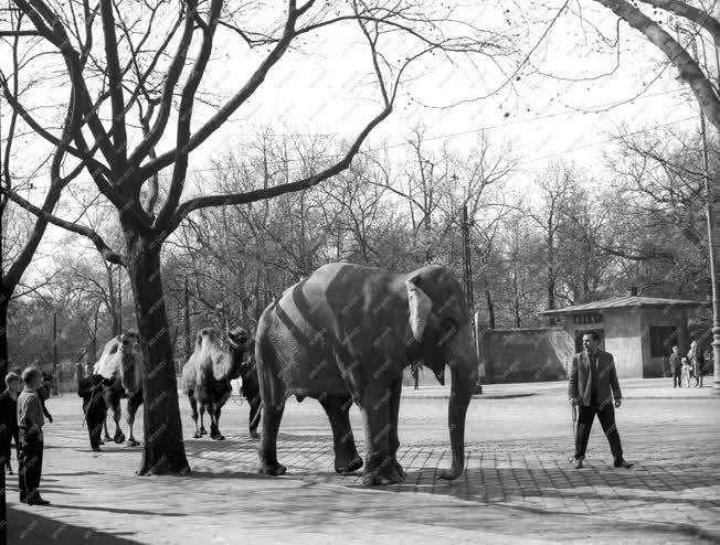 Érdekesség - Elefánt a pesti utcán