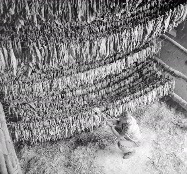 Mezőgazdaság - Növénytermesztés - Száradó dohánylevelek