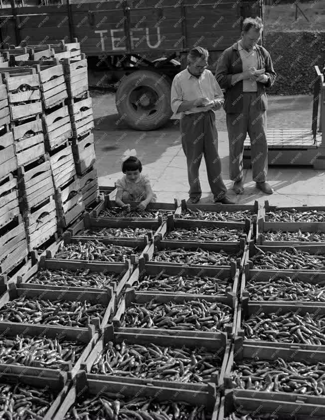 Kereskedelem - Fűszerpaprika-felvásárlás Bogyiszlón