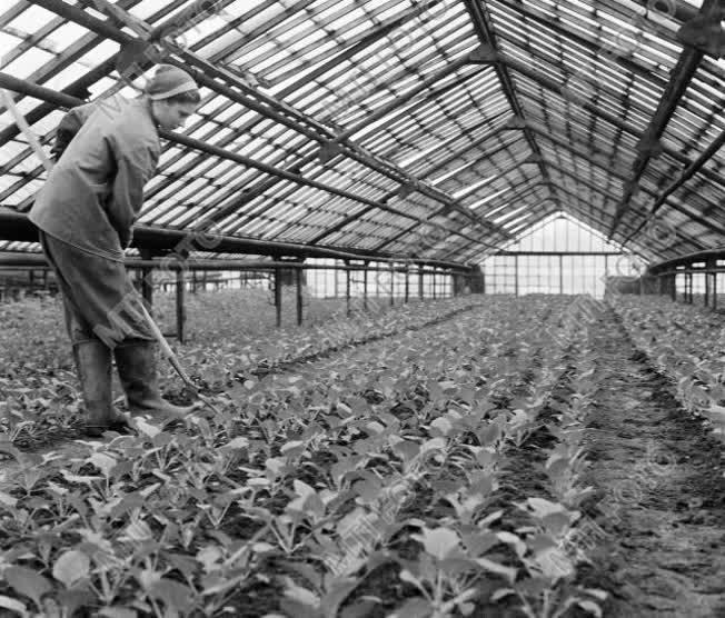 Mezőgazdaság - Kertészet - Primőr zöldség termesztése