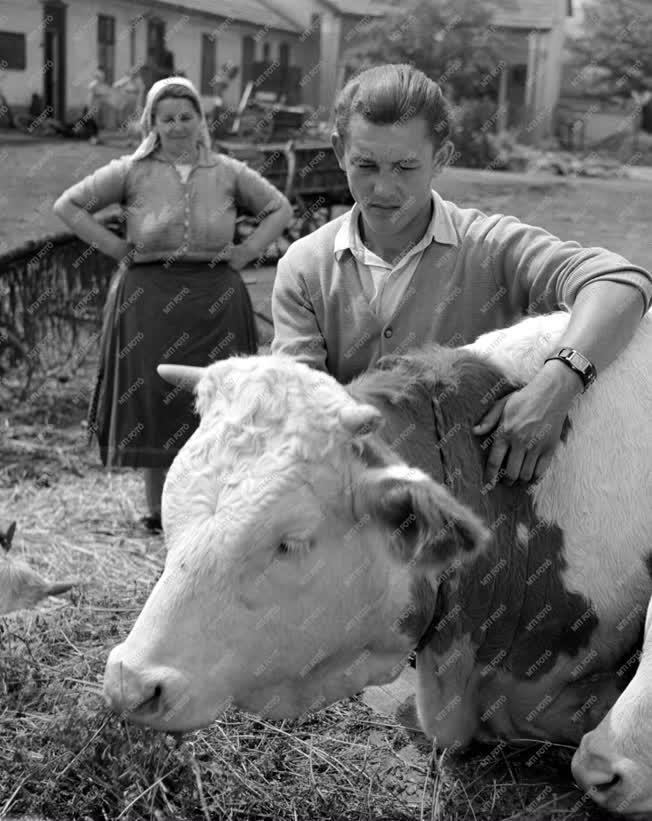 Mezőgazdaság - A Béke Tsz tehenészete