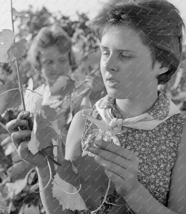 Mezőgazdaság - A Kunfehértói Állami Gazdaság szőlészete