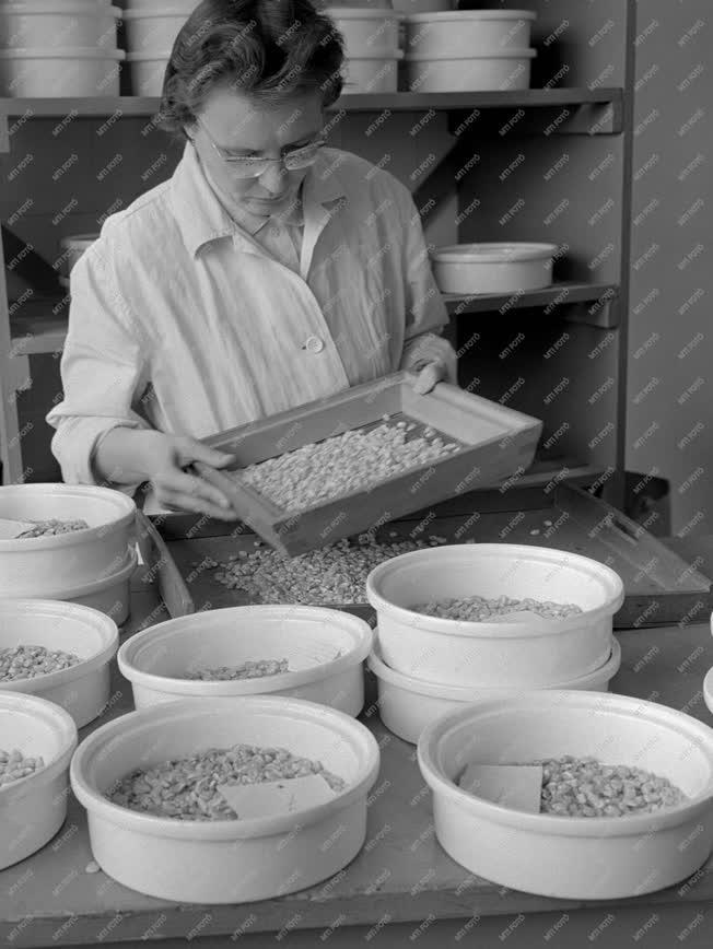 Mezőgazdaság - Hibrid kukorica a Lajta-Hansági Állami Gazdaságból