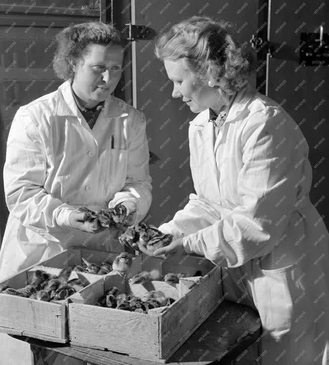 Mezőgazdaság - Vizsgálják a frissen kikelt kiscsibéket