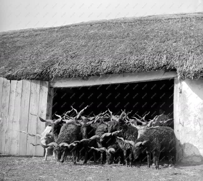 Állattenyésztés - Racka juhok a Hortobágyon