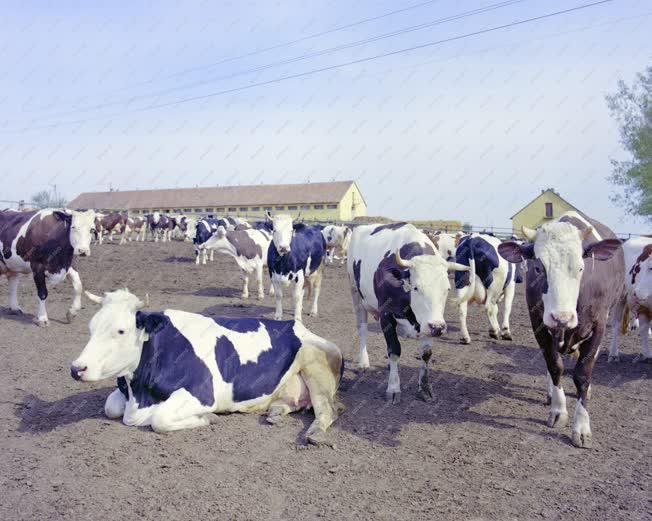 Mezőgazdaság - Szarvasmarhák Sombereken