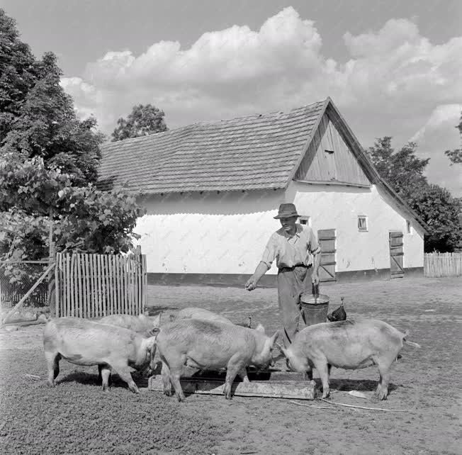 Mezőgazdaság - Háztáji sertéshizlalási mozgalom Csongrád megyében