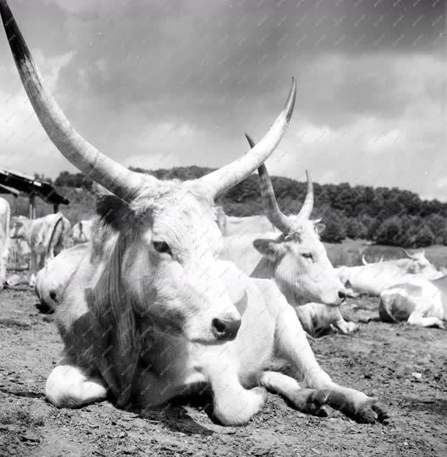 Mezőgazdaság  - Szürke marhák a Bükkben