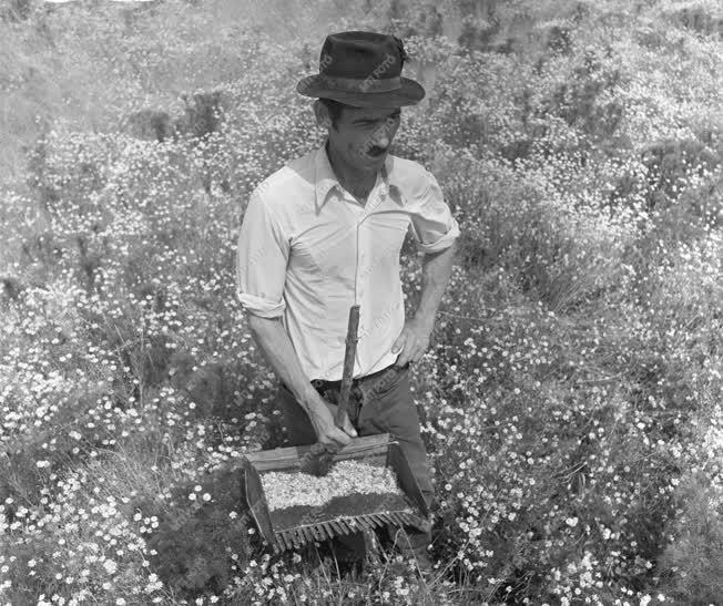 Mezőgazdaság - Virágzik a kamilla