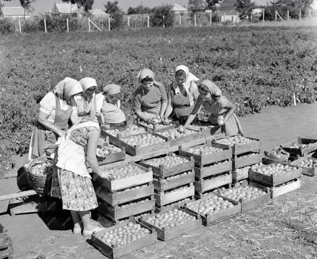 Mezőgazdaság - Paradicsomszüret