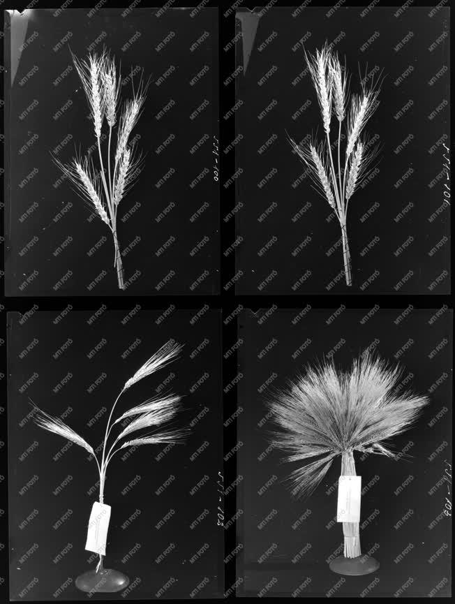 Mezőgazdaság - Búzafélék - Agrimpex album