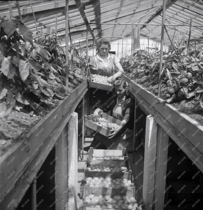 Mezőgazdaság - Bodakajtori ÁG - Üvegház