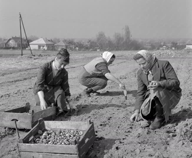 Mezőgazdaság - Gladióluszgumó ültetés a Micsurin Tsz-ben
