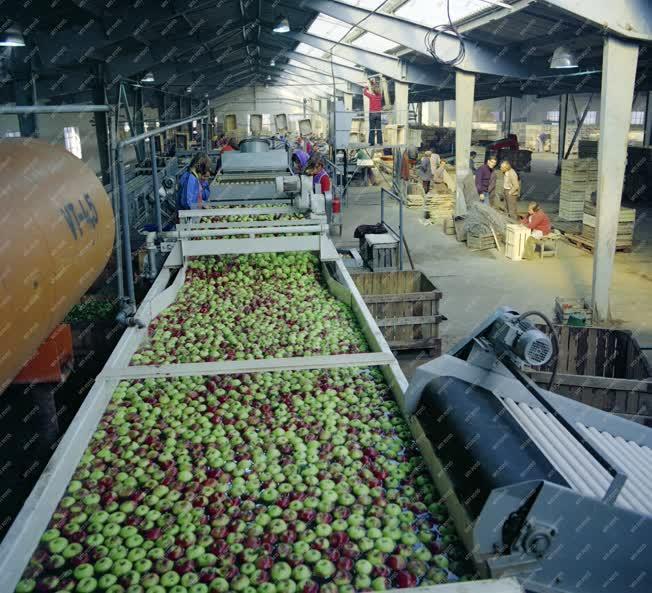 Mezőgazdaság - Almaszüret a Micsurin tsz-ben