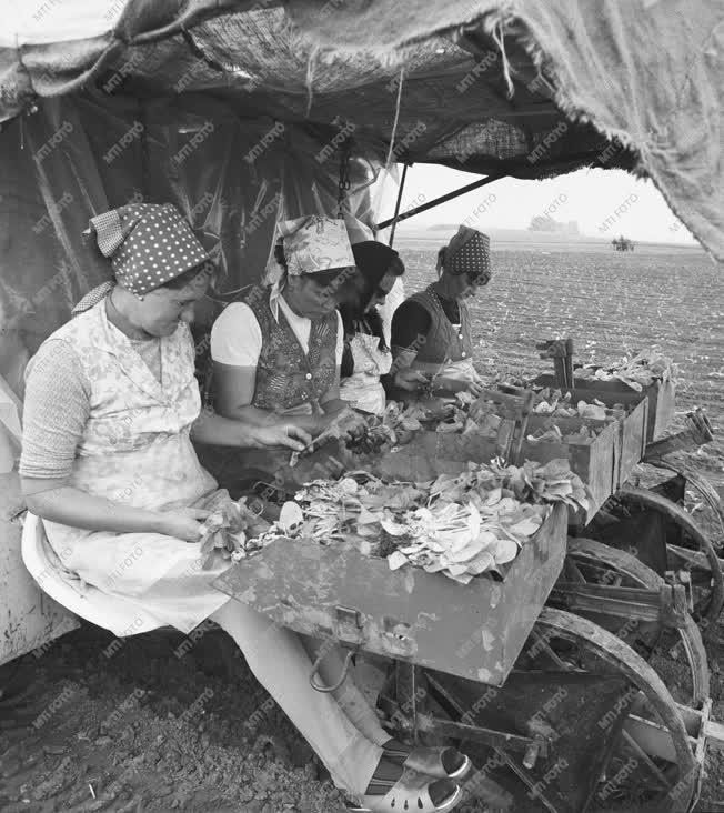 Mezőgazdaság - Dohánytermesztés Nagydorogon