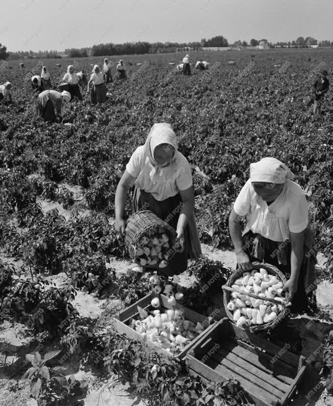 Mezőgazdaság - Paprikaszedés - Bogyiszlói paprika