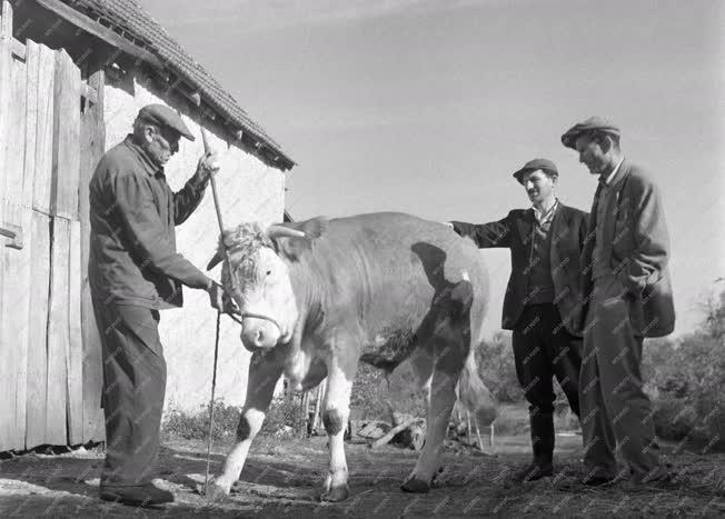 Mezőgazdaság - A mencshelyi Kossuth Tsz