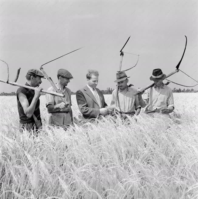Mezőgazdaság - Kézi aratás Kiskunmajsán