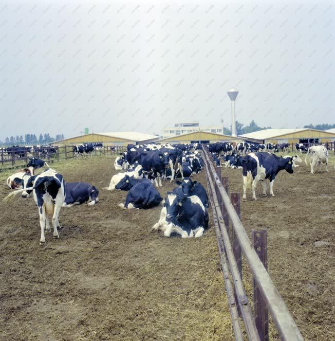 Mezőgazdaság - Tehenek a kifutóban