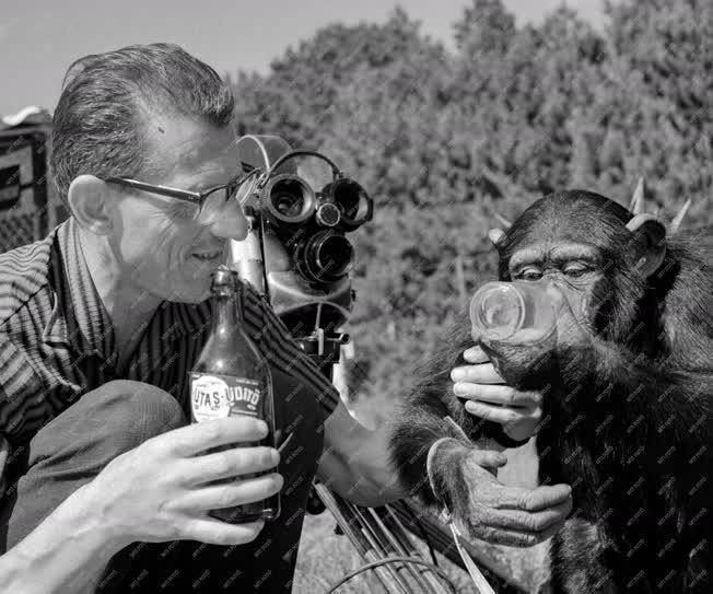 Állatvilág - Filmet forgatnak az intelligens Böbe majomról