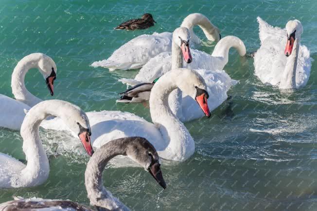 Természet - Siófok - Hattyúk a Balatonban
