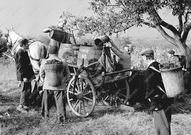 Mezőgazdaság - Mezőgazdasági munkák - Szüret Egerben