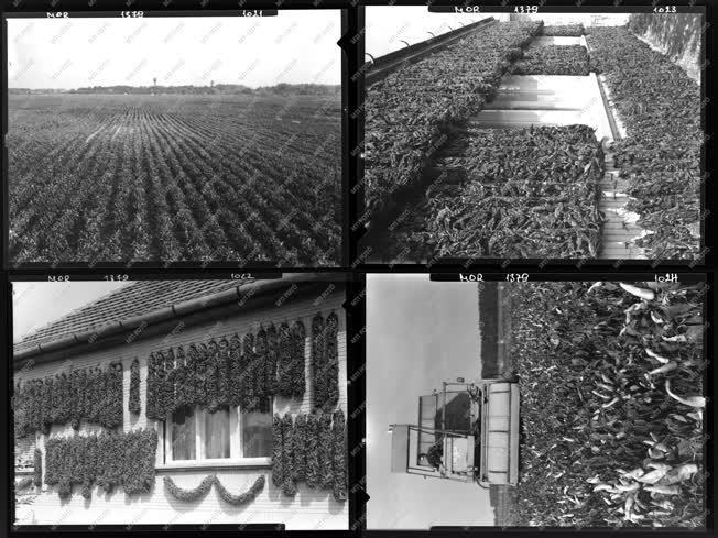 Mezőgazdaság - Hungarikum - Kalocsai paprikák