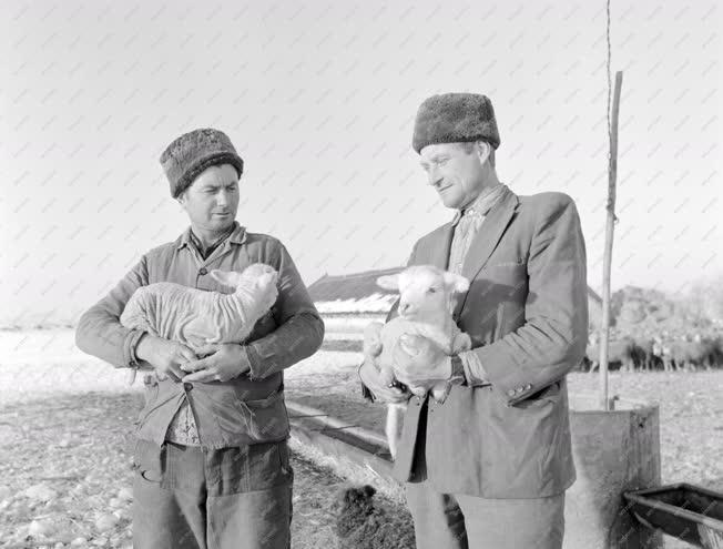 Életkép - Mezőgazdaság - Újszülött bárányok a Tiszacsegen