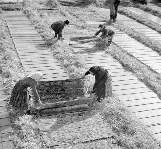 Mezőgazdaság - Nádtakaróval fedik a melegágyakat