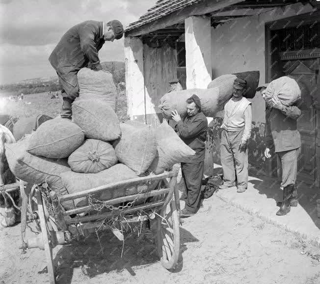 Mezőgazdaság - Logisztika - Szállítják a máriagyűdi zöldborsót